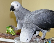 talking  African Grey Parrot for sale