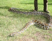 Burmese python for sale