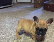 FRENCH BULL DOG PUPPY FOR SALE!!!!