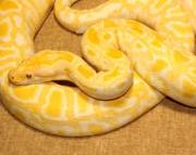 cute Albino Burmese Python for sale