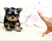 Teacup Yorkshire Terrier puppies for sale