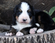 few Bernese puppies for sale