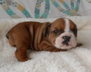 fin English Bull Dog puppies for sale
