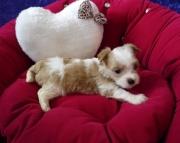 Home Raised Maltese puppies 505x652x7165