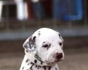 Understandable Dalmatian puppies  505x652x7165