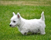 JMV West Highland puppies 505x652x7165