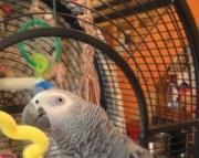 HACY African Grey Parrots 505x652x7165