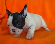 JX French Bulldog Puppies 505x652x7165