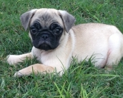 TRAINED Looking Pug Puppies For Sale  816 X 301 X 6946