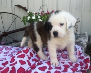 Adjusted St. Bernard puppies for your kids