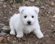 Ambitious West Highland White Terriers  puppies for sale