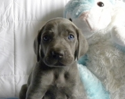 Adequate Weimaraners  puppies for caring home