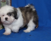 Adaptive Shih Tzu  puppies for caring home