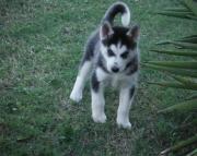 Admirable Siberian Husky Puppies Ready Now