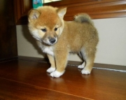 Shiba Inu  puppies for your home