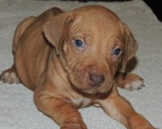 Adventurous Rhodesian Ridgeback  puppies for your home