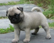 Lively Pugs  puppies needs new home