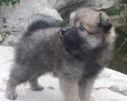 Adapted Pomeranian puppies ready now