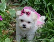 Agreeable Maltese  puppies ready now