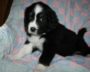 Newfoundland puppies for caring home
