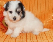 Amazing Havanese puppies available now