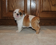 English Bulldog puppies available now