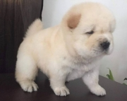 Chow Chow puppies male and female ready now