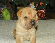 Playful Chinese Shar-Pei puppies ready now