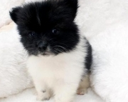benevolent Trained Gorgeous Male/Female Pomeranian puppies for sale
