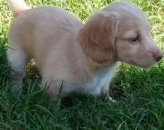 Daschund puppies 505x652x7165