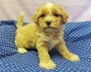 Lhasa Apso puppies 505x652x7165