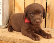 Labraddor Retriever Puppies Ready for your homes 505x652x7165