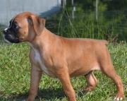 JCVM Boxer Puppies 505x652x7165