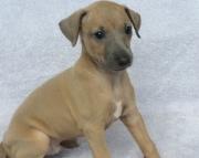 .Italian Grey Hound Puppies 505x652x7165