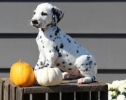 Homes Raised Dalmatian Puppies 505x652x7165