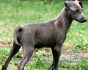 Lil the Italian Grey Hound Puppies 505x652x7165