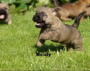 Akc Cairn Terrier puppies 505x652x7165