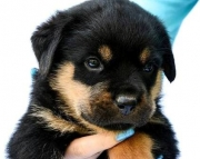 Rottweiler Puppies for sale 505x652x7165