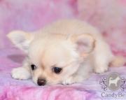 HB Chihuahua Puppies 505x652x7165