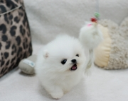 Jules Pomeranian Puppies for new homes