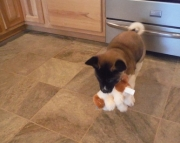 gdh akita puppies for sale