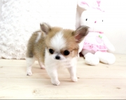 dfg Teacup chihuahau puppies for sale