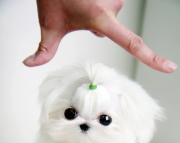 rty teacup maltese puppies for sale
