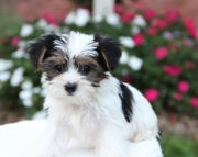 finey Yorkshire Terrier puppies for sale
