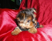 can Yorkshire Terrier puppies for sale