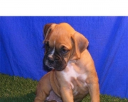 on English Bull Dog puppies for sale