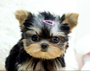 ssd Teacup Yorkshire Terrier puppies for sale