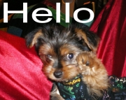 fix Yorkshire Terrier puppies for sale