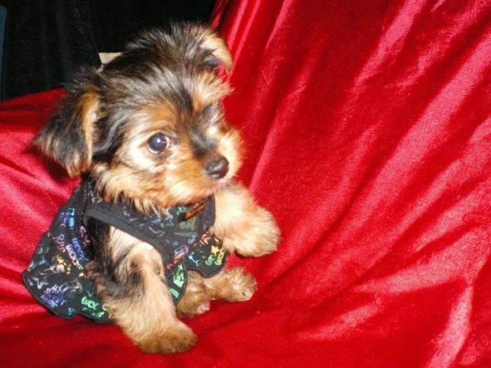 Ur Yorkshire Terrier Puppies For Sale Handmade Michigan