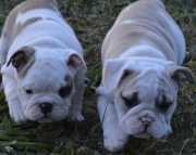 shy English Bull Dog puppies for sale